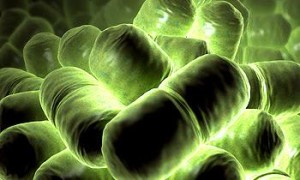 Бактерия коклюша - B. Pertussis