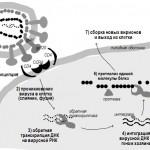 Антиретровирусные препараты: классификация, механизм действия, побочные эффекты