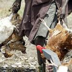 Вьетнам сообщает о третьей вспышке гриппа H5N6 у птиц