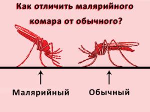Как отличить малярийного комара от обычного